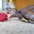 Turtle-Eats-Raspberry