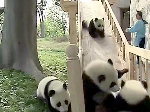 Baby Pandas Going Down a Slide