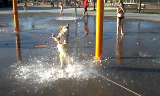 Corgi at a Water Park = Instant Happiness