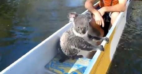 Canoeing Koalas Are the Cutest Kind
