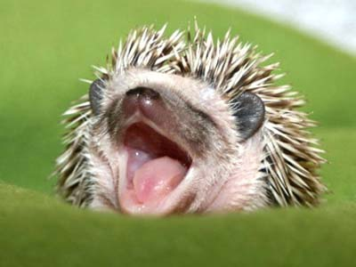 Sweet Dreams Little Hedgey