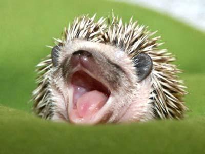 Sweet Dreams Little Hedgey