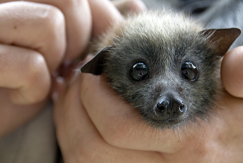 Rescued Baby Fruit Bat Takes a Nap