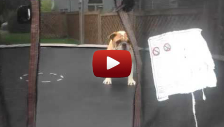 Check Out This Bulldog's Impressive Trampoline Gymnastics