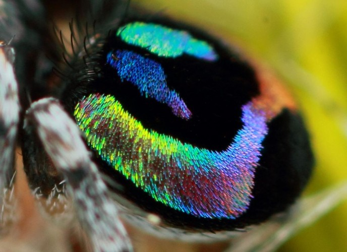 Maratus Robinsoni, jumping spider