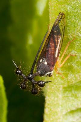 The Art of the Ball-bearer Leafhopper
