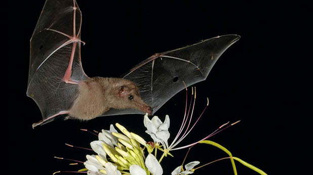 Snout Of The Century Banana Bat Featured Creature