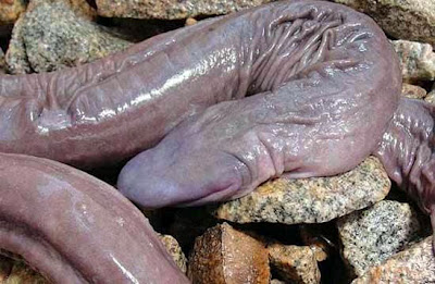 NSFW: Fleshy 'Penis Snake' Discovered in the Amazon