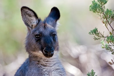 black wallaroo