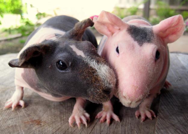 7 bizarre breeds of guinea pigs featured creature image credit fresnoolx sciox Gallery