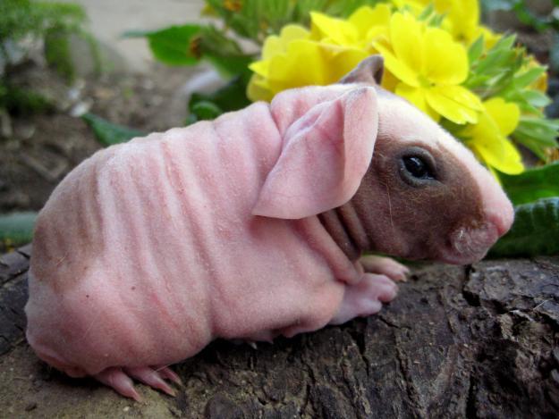 Bizarre Breeds of Guinea Pigs | Featured Creature