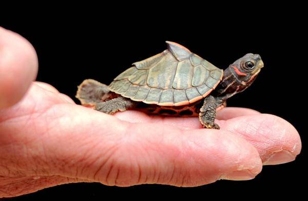 From Smuggled To Saved: Indian Roofed Turtle