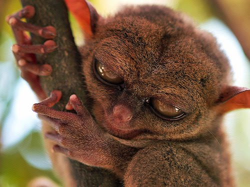 Is a Tarsier Scary or Cute? | Featured Creature