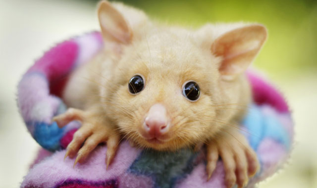 The Cutest Brushtail Possums Are Made Of Gold