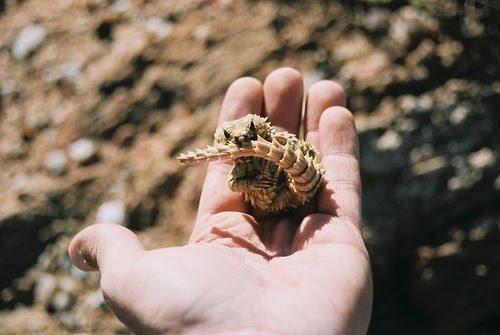 Mi Amor the Armadillo Lizard | Featured Creature