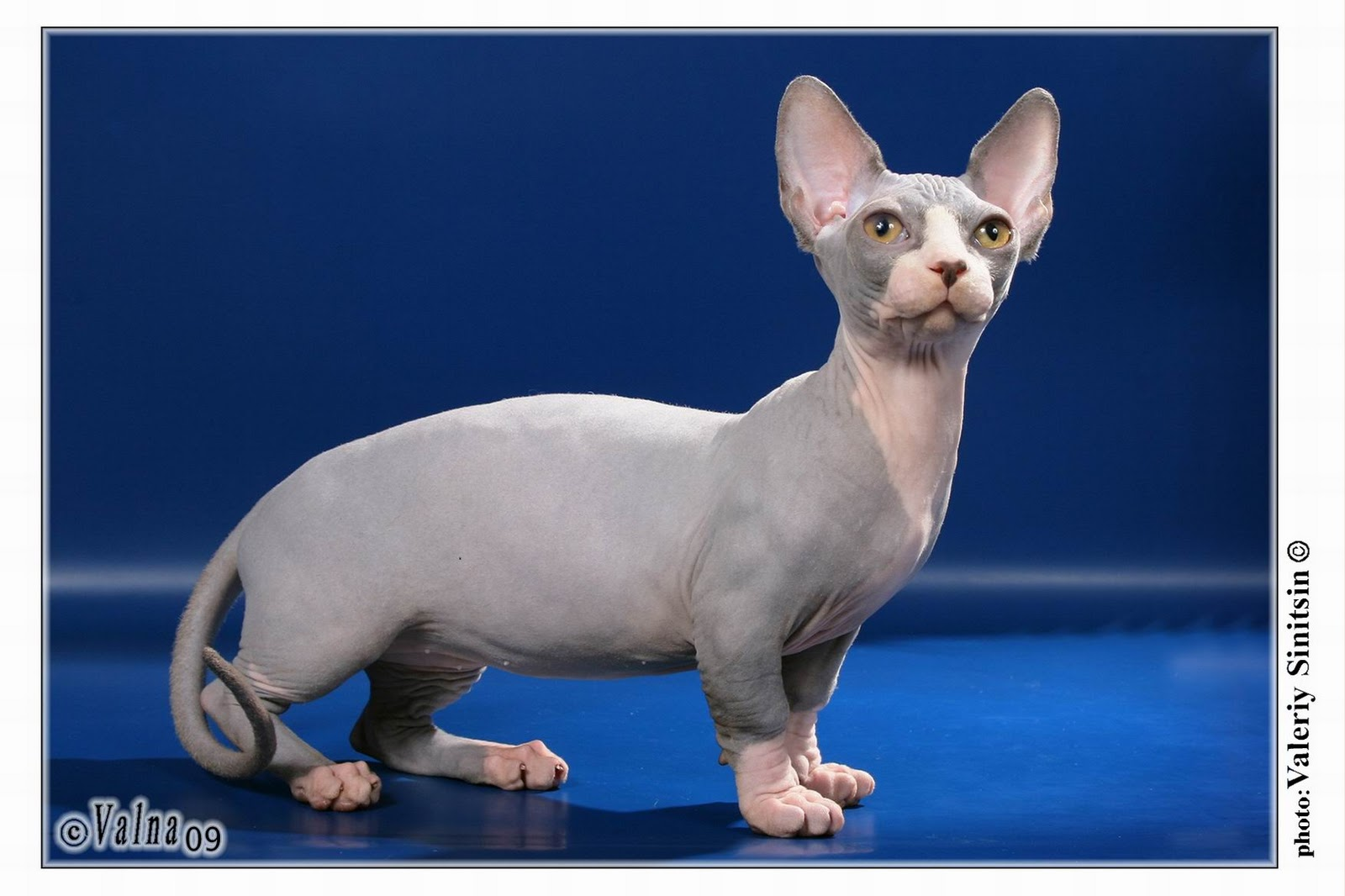6 strange breeds of hairless cats featured creature - Prix chat munchkin ...