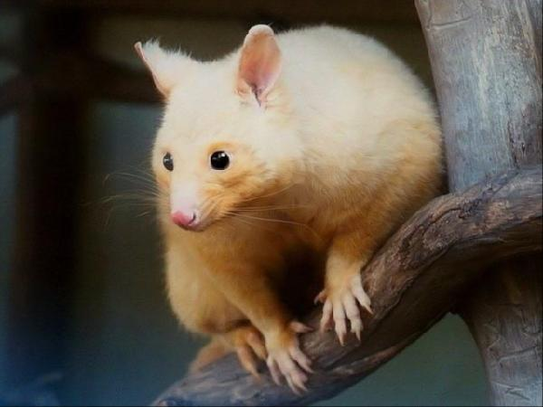 adorable golden brushtail possum - 600×450