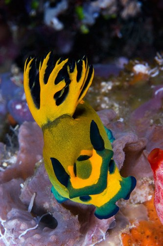 New Week Nudibranch: Tambja olivaria