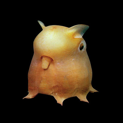The Flapjack Octopus Made Famous In Finding Nemo