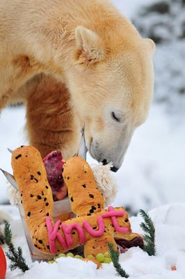 knut fourth birthday, polar bear