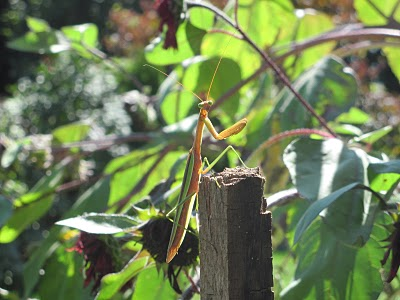 praying mantis in yard