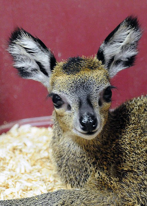 Klipspringer: the Adorable 'Rabbit' Antelope of Africa