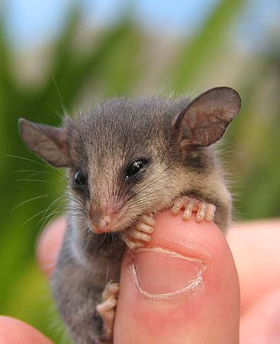 Pygmy Opossums Blind Me With Their Cuteness Featured