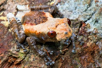 Bird-Poop frog,Theloderma asperum
