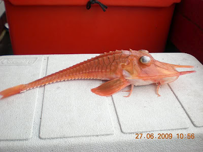 Who Knew a Sea Robin Could be So Freaking Strange-looking?