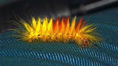 The Fiery and Furry Sycamore Moth Caterpillar