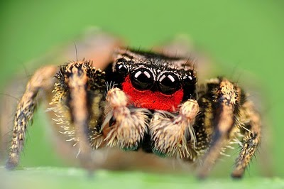 Red-faced Jumping Spider, Habronattus coecatus
