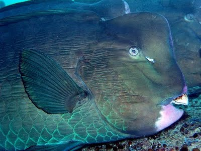 Green Humphead Parrotfish, Bolbometopon muricatum