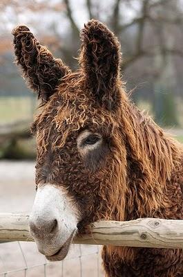 The Rare and Rastafarian Poitou Donkey