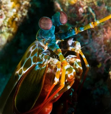 peacock shrimp, mantis shrimp