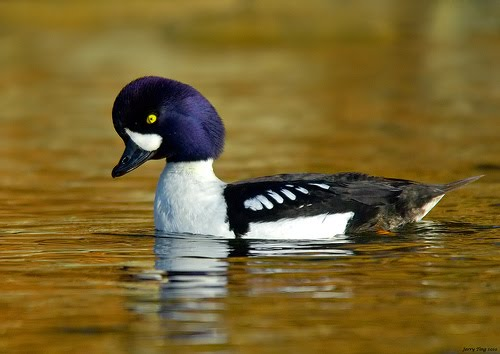A Duck With Style: Barrow's Goldeneye | Featured Creature