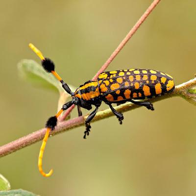 Shake Those Pom-Poms, Longhorn Beetle!