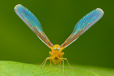 The Best Silly Face on the Planet: Cross-eyed Planthopper