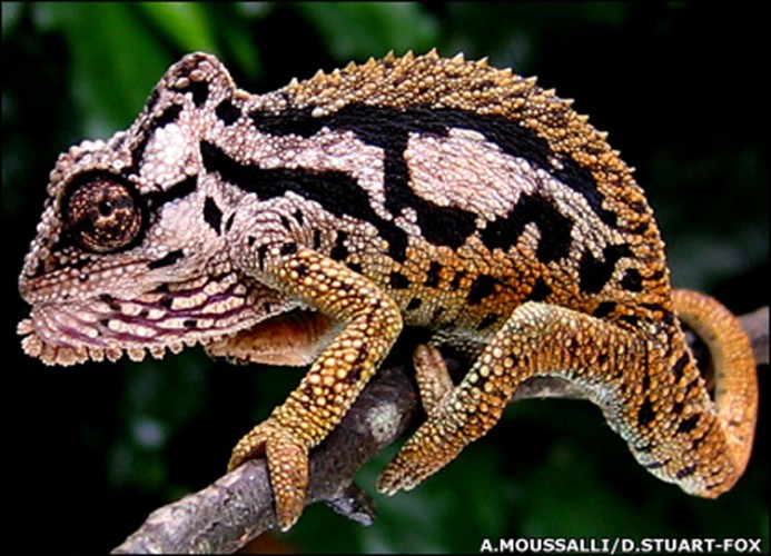 From Penny-sized to Tiger-patterned: the Transvaal Dwarf Chameleon