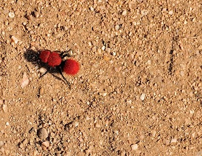 Fuzzy Doesn't Mean Friendly: Red Velvet Ants