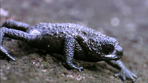 A Rolling Pebble Toad Gathers No Moss Featured Creature