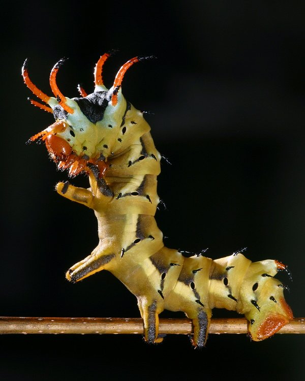 Meet the Hickory Horned Devil