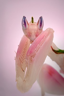 orchid mantis ,orchid mantises