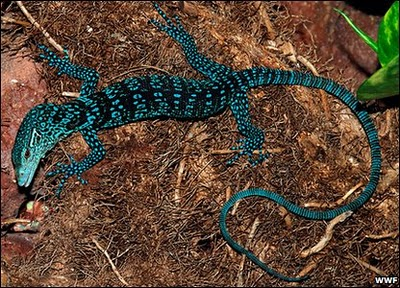 Blue Leopard Inspired Lizard Featured Creature