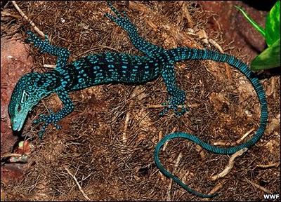 Blue Leopard Inspired Lizard Featured Creature