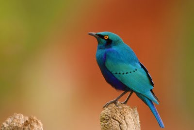 Greater Blue-eared Glossy-starling, Lamprotornis chalybaeus