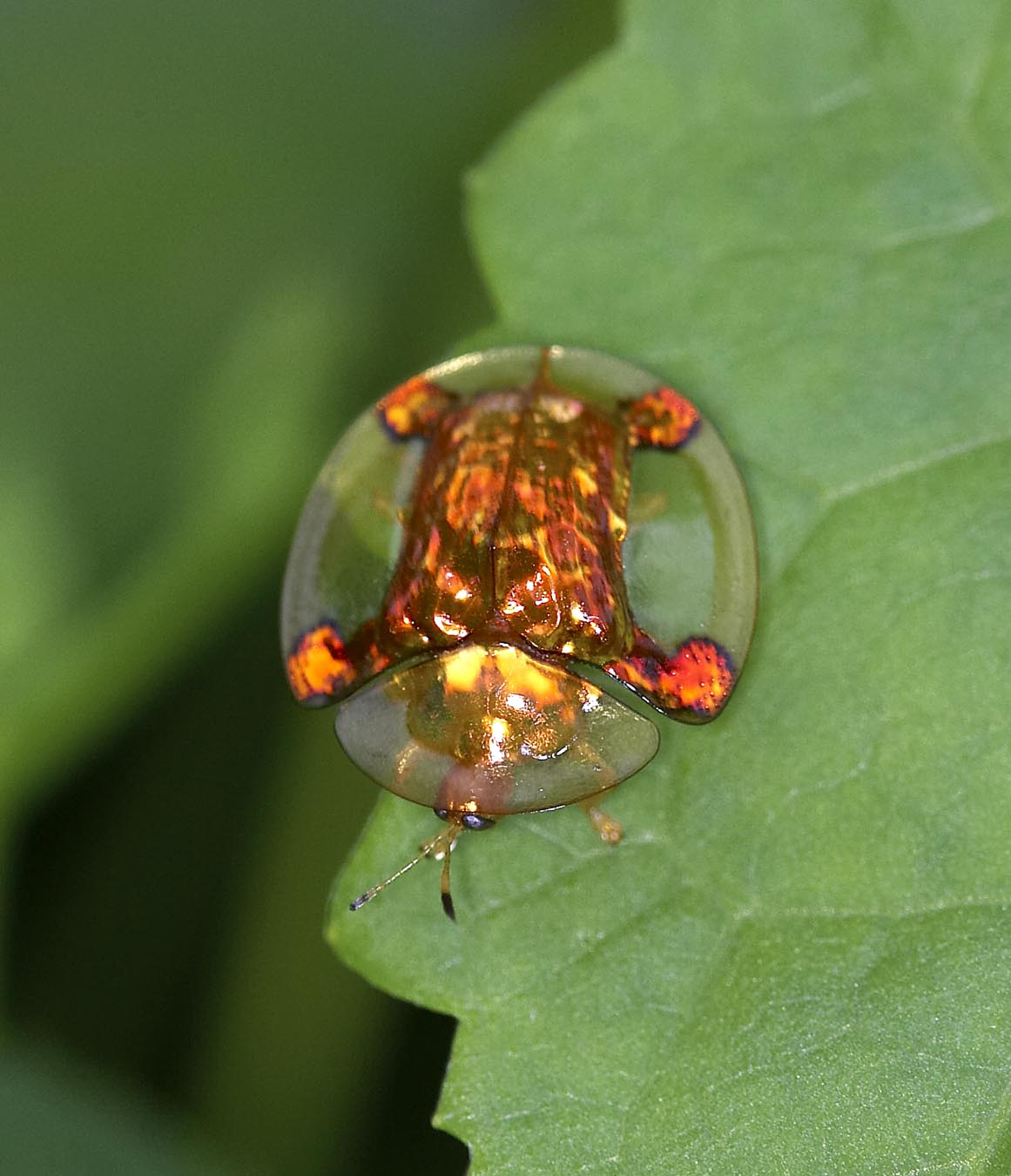 tortoise beetles are totally awesome featured creature