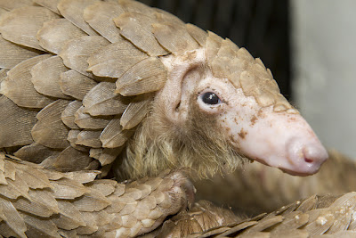 Is That a Walking Pine Cone?! No – Just a Pangolin.