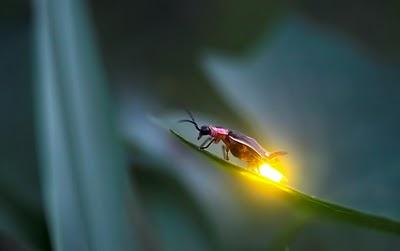firefly lighting up