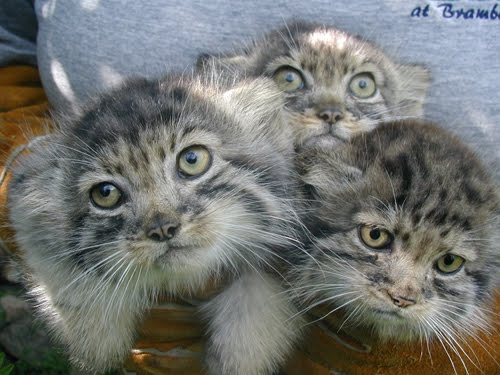 The many identities of the pallas cat featured creature the many identities of the pallas cat publicscrutiny Images