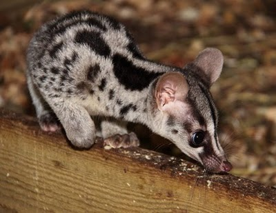 Story Book Character or Owston's Palm Civet?